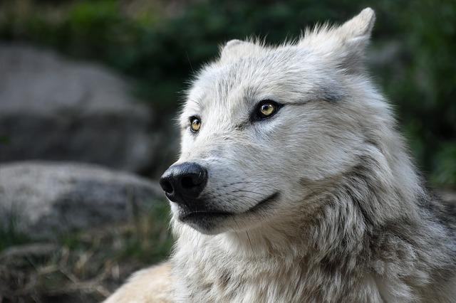 Anche il lupo è timido e per questo vale la pena conoscerlo meglio!