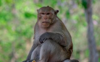 Le scimmie provano ansia